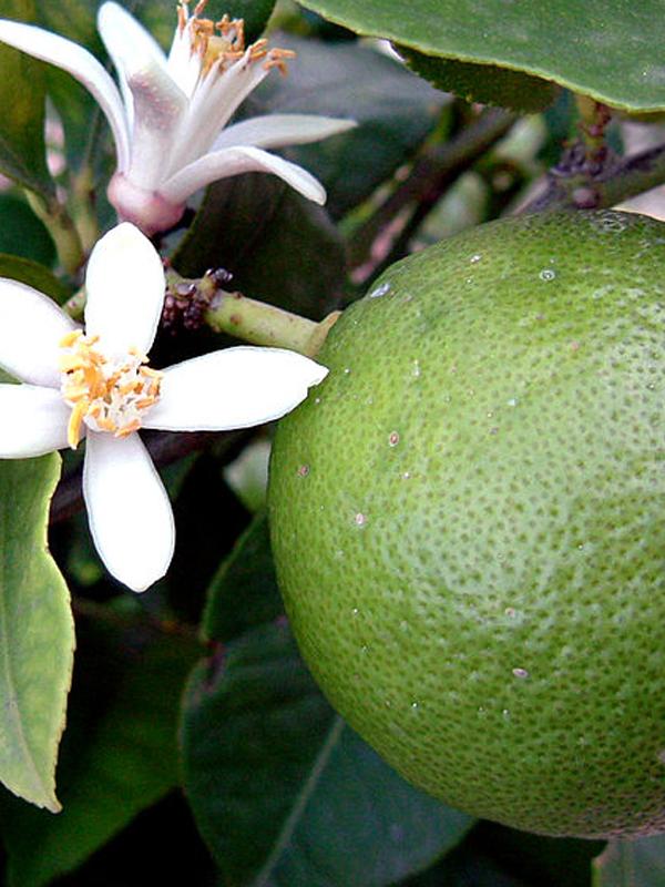Banzai Organics - Floris Naturals Pure Natural Organic Lime Essential Oil Aromatherapy